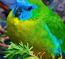 Turquoise Parrot by Margaret Saheed