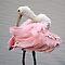Preening - (Birds Category)