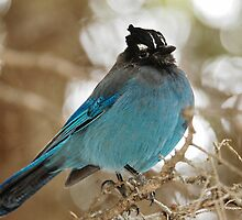 Steller's Jay by NinaOswald