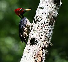 Red Headed Woodpecker by deserttrends