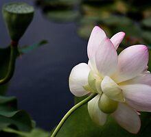 Bashful, Blushing Lotus by ElyseFradkin