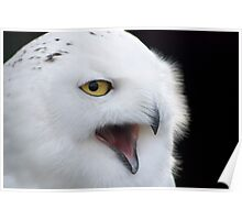 Snowy Owl - (Bubo scandiacus) Poster