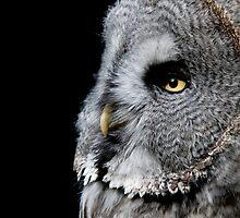 Great Grey Owl - (Strix nebulosa) by Robert Taylor