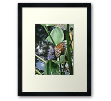GULF FRITILLARY ON PICKEREL WEED Framed Print