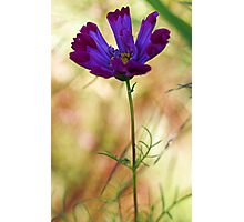 -Beautiful Lavender Cosmos Photographic Print