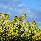 Canola Field by Bevellee