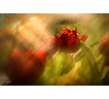 Tulip in the Spotlight Photographic Print