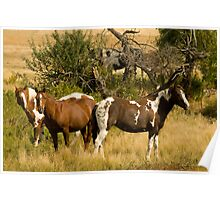 The Peeking Paint, Pinto horse photo in Montana Poster