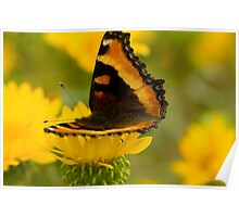 Butterfly on Yellow Flower, Montana photo. Poster