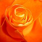 orange rose by cortypants