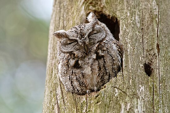 Quot Sleeping Screech Owl Quot By Michael Cummings Redbubble