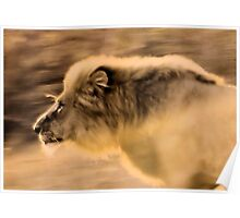 Panthera Leo - UP CLOSE ,THE CHARGING LION - in a full faced sunset Poster