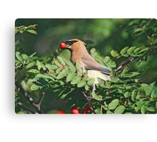 Cedar Waxwing in the Mountain Ash Berries Canvas Print