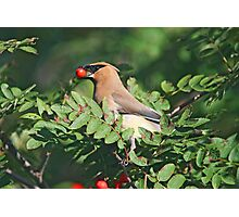 Cedar Waxwing in the Mountain Ash Berries Photographic Print