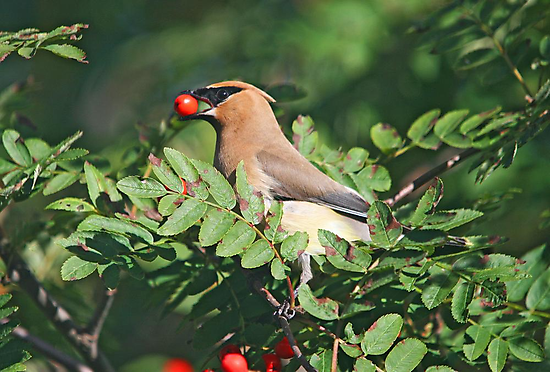 Cedar Waxwing in the Mountain Ash Berries by Vickie Emms