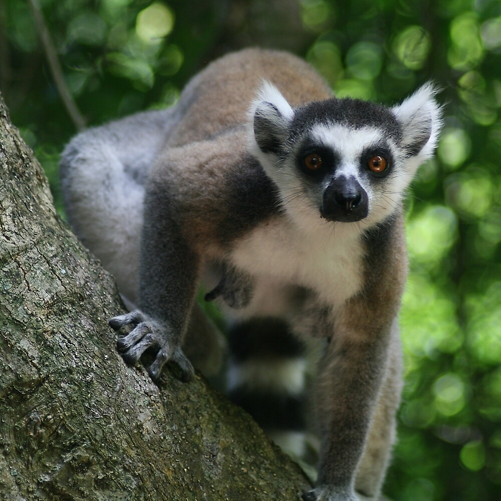 Ringtail Lemur Staring by Jane McDougall