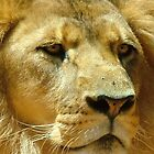 lion watching crowd with two flies on nose by alanball