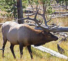 Bull Elk by Kim Barton
