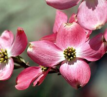 Dogwood in Pink by nastruck
