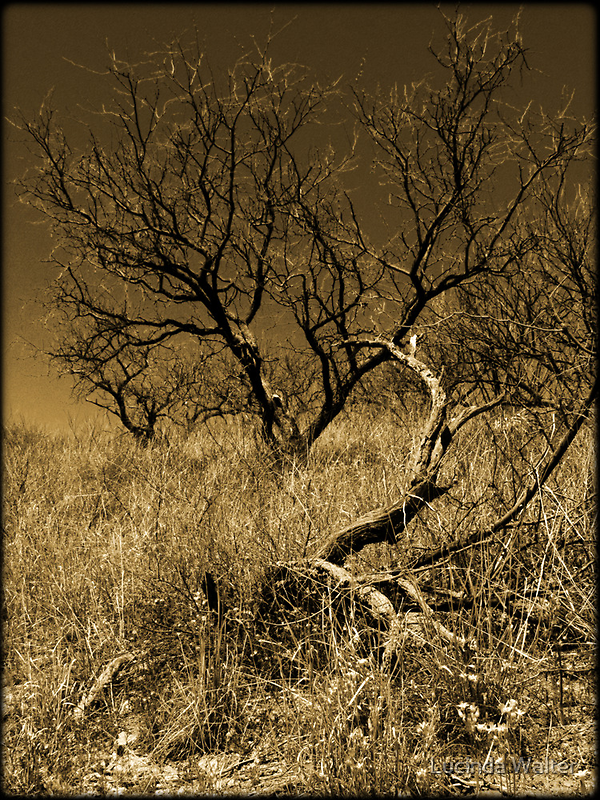 Mesquite by Lucinda Walter