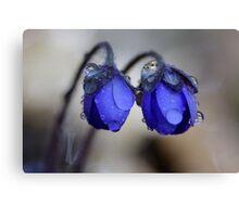 Hepatica nobilis after rain Canvas Print