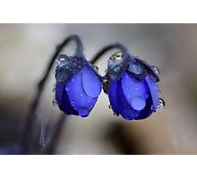 Hepatica nobilis after rain Photographic Print