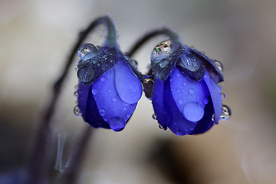 Hepatica nobilis after rain by Romeo Koitmäe