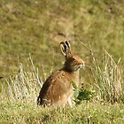 Hare at Fidden by YorkshireMonkey