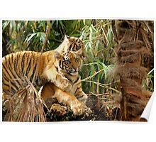 Sumatran Litter Mates Poster