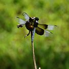 Dragonfly on a stem by agenttomcat