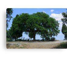 Oak tree, San Quirico d'Orcia, Tuscany Canvas Print