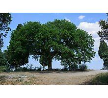 Oak tree, San Quirico d'Orcia, Tuscany Photographic Print