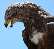 Red Tailed Hawk  by Declan Carr