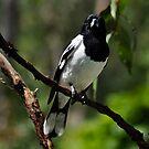 pied butcherbird ii by gary roberts