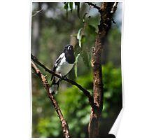 pied butcherbird iii Poster