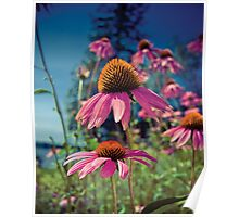 Summer Fling Cone Flowers Poster