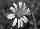 black and white daisy by millymuso