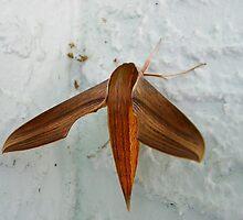 Tersa Sphinx Moth by Judy Wanamaker