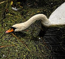 Swan drinking by Karen  Betts
