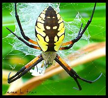 Argiope Spider by Renee Tran