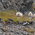Sheep by ilpo laurila