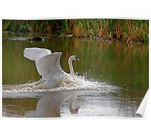 Swan Greeting 10 Poster