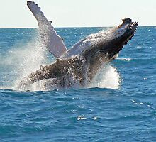 Whale breaching at Hervey Bay, Australia by krista121
