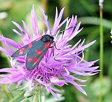 Five spotted Burnet by frogs123