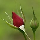 The Beauty of a ROSE...begins with the Rose Bud by kellimays