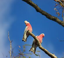 Right Pair of Galahs by burnettbirder