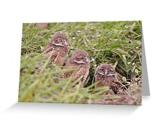 Trio of Baby Burrowing Owls, As Is Greeting Card