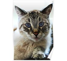 Douglas The Cat - Old Blue Eyes Poster