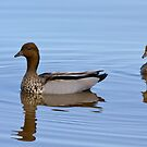 A pair of ducks, Lake Burley Griffin, Canberra, ACT by DespinaT
