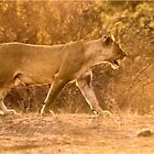 THE LIONESS - in full Sunset charge by Magaret Meintjes